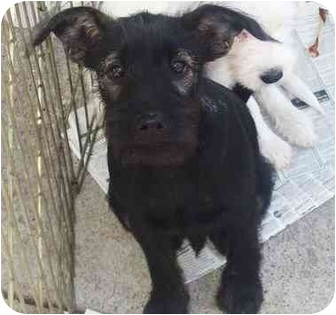 Schnauzer (Standard) Mix Puppy for adoption in Newburgh, Indiana - Sam