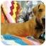 Photo 2 - Labrador Retriever/Basset Hound Mix Dog for adoption in Portsmouth, Rhode Island - Journey