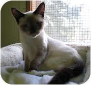 Siamese Cat for adoption in Shelton, Washington - Purrcey