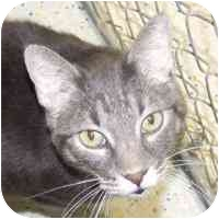 Domestic Shorthair Cat for adoption in Coleraine, Minnesota - Willie