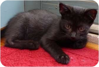 Domestic Shorthair Kitten for adoption in Troy, Michigan - Halley