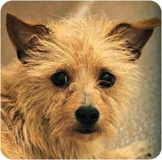 Cairn Terrier/Wheaten Terrier Mix Dog for adoption in Atlanta, Georgia - Trevor