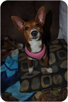 Rat Terrier/Beagle Mix Puppy for adoption in Homer, New York - Amber
