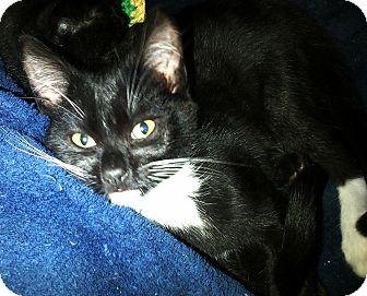 Domestic Shorthair Kitten for adoption in Seminole, Florida - Stone