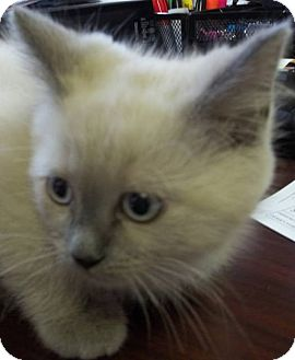 Domestic Shorthair Cat for adoption in Ketchikan, Alaska - GATOR