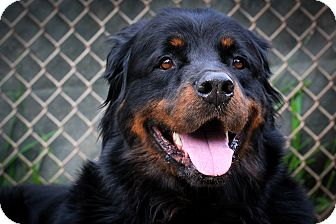 Rottweiler Mix Dog for adoption in Santa Barbara, California - Noah