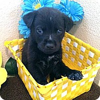 Adopt A Pet :: Sebastian - Inglewood, CA