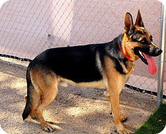 German Shepherd Dog Mix Dog for adoption in Phoenix, Arizona - Ricky