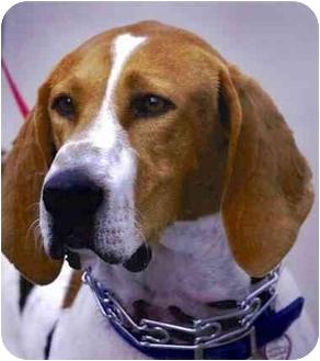 Foxhound/Hound (Unknown Type) Mix Dog for adoption in Rolling Hills Estates, California - Jeep