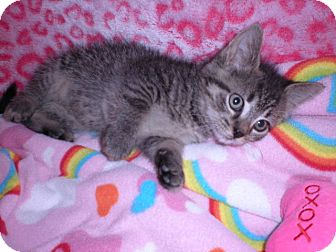 Domestic Mediumhair Kitten for adoption in New Castle, Pennsylvania - Morticia