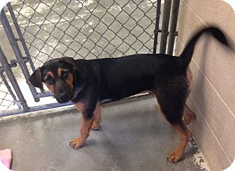 Shepherd (Unknown Type)/Hound (Unknown Type) Mix Puppy for adoption in Greensburg, Pennsylvania - Reebok