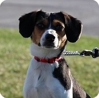 Beagle Mix Puppy for adoption in Elyria, Ohio - Bella