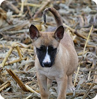 German Shepherd Dog/Mountain Cur Mix Puppy for adoption in Liberty Center, Ohio - Chicago