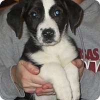 Adopt A Pet :: Gennaro - Salem, NH
