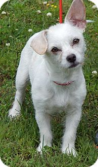 Terrier (Unknown Type, Small)/Chihuahua Mix Puppy for adoption in Burlington, Vermont - Mojo(10 lb) Fun, Sweet, Smart