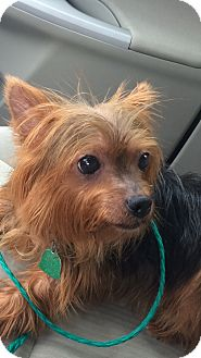 Yorkie, Yorkshire Terrier Dog for adoption in Lancaster, Texas - Mischa
