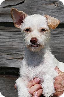 Westie, West Highland White Terrier/Terrier (Unknown Type, Small) Mix Puppy for adoption in Pennigton, New Jersey - Aliya