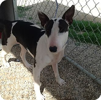 Bull Terrier Dog for adoption in Los Angeles, California - Ruby