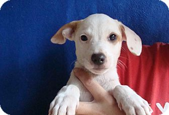 Jack Russell Terrier/Rat Terrier Mix Puppy for adoption in Oviedo, Florida - Piper