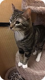 Domestic Shorthair Cat for adoption in Brea, California - MURPHY