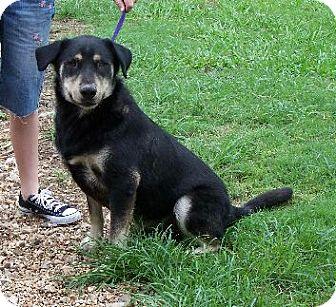 Shepherd (Unknown Type)/Labrador Retriever Mix Dog for adoption in Lafayette, Louisiana - Rue