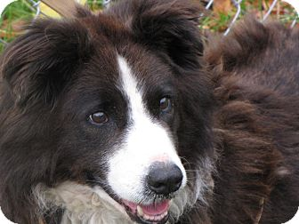 Australian Shepherd/Border Collie Mix Dog for adoption in Reed City, Michigan - SCOUT