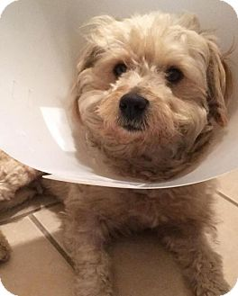Maltese/Poodle (Miniature) Mix Dog for adoption in Huntington Beach, California - Maui