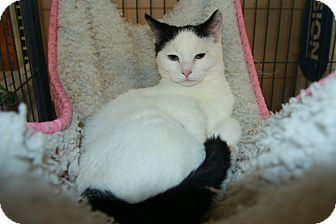 Domestic Shorthair Cat for adoption in Rochester, Minnesota - Eduardo