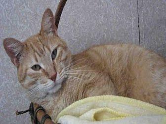 Domestic Mediumhair Cat for adoption in Fort Walton Beach, Florida - GATOR
