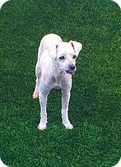 Poodle (Miniature)/Bichon Frise Mix Dog for adoption in Coronado, California - Carter