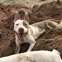 Adopt A Pet :: Champ - Denver City, TX