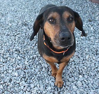 Corgi/Hound (Unknown Type) Mix Dog for adoption in Hagerstown, Maryland - Elvis