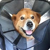 Adopt A Pet :: Leia - New Canaan, CT