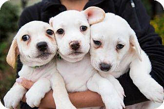 Beagle/Tibetan Spaniel Mix Puppy for adoption in San Diego, California - China Puppies - Males