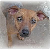 Adopt A Pet :: Schatzi - Ozark, AL