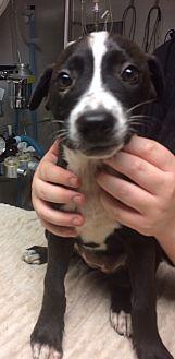 German Shepherd Dog/Labrador Retriever Mix Puppy for adoption in St. Louis, Missouri - Juno