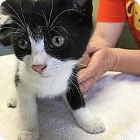 Domestic Shorthair Kitten for adoption in Orleans, Vermont - Kit Kat