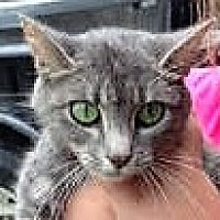 Domestic Shorthair Kitten for adoption in Germantown, Maryland - Vergie
