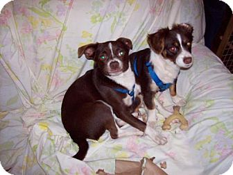 Chihuahua Dog for adoption in Cantonment, Florida - Mutt