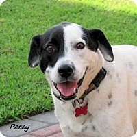 Adopt A Pet :: Petey - Oklahoma City, OK