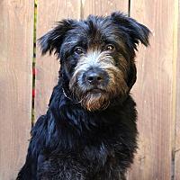 Adopt A Pet :: Pollack - Los Angeles, CA