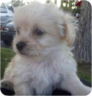 Schnauzer (Miniature)/Chihuahua Mix Puppy for adoption in Broomfield, Colorado - Champ