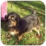 Photo 3 - Dachshund/Cocker Spaniel Mix Dog for adoption in Bloomsburg, Pennsylvania - Mindy