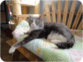 Domestic Shorthair Cat for adoption in Kingston, Washington - BK