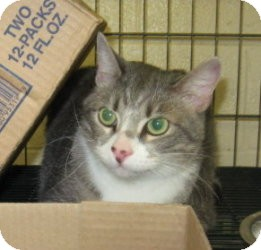 Domestic Shorthair Cat for adoption in Stillwater, Oklahoma - Wade