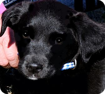Labrador Retriever Puppy for adoption in Wakefield, Rhode Island - LUNA(THE SWEETEST PUPPY EVER!!