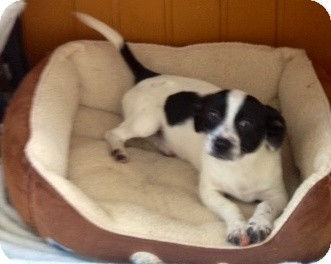 Rat Terrier/Dachshund Mix Dog for adoption in Lancaster, Kentucky - Peggy