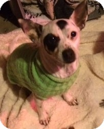 Chihuahua/Rat Terrier Mix Dog for adoption in Houston, Texas - PRINCESS