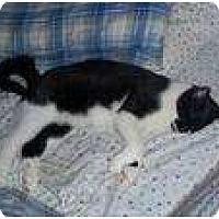 Domestic Shorthair Cat for adoption in New York, New York - Hemingway