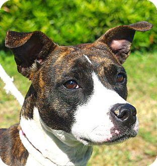 Pit Bull Terrier Mix Dog for adoption in Daytona Beach, Florida - Tina
